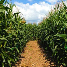 About the Corn Maze